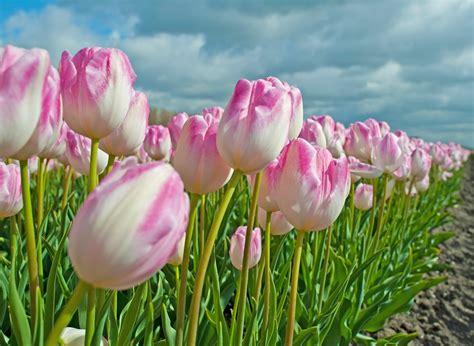 Welche Vase Für Tulpen by Tulpen Richtig Pflanzen Und Pflegen