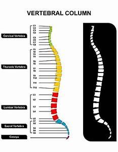 Vertebral Column  Spine  Diagram Showing Vertebra Groups