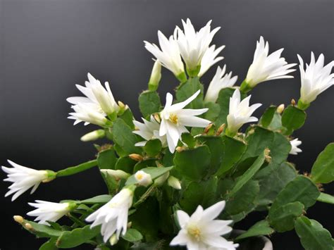 Easter Cactus Care - Tips For Growing An Easter Cactus Plant