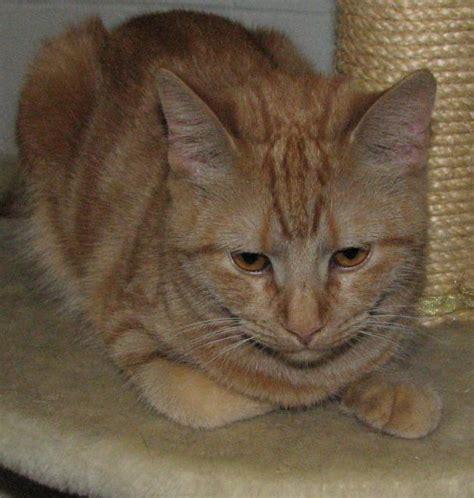 orange tabby cat femalepet  gallery cats pet