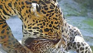 Jaguar Nice : how do jaguars care for their babies sciencing ~ Gottalentnigeria.com Avis de Voitures