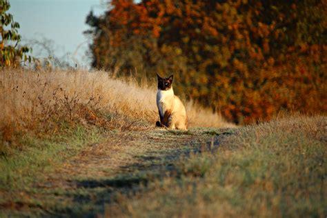 picture sunshine siamese cat road summer nature