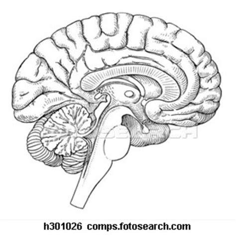 labeled brain black and white brainstem cerebral cortex thalimus hypothalimus pitui