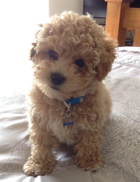 Such A Cutie Bichon Cross Toy Poodle Lovin It