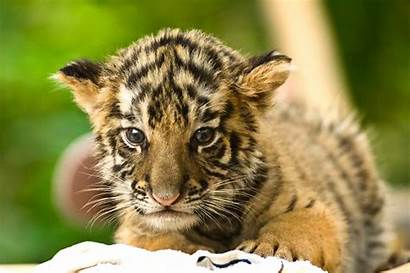 Tiger Animals Endangered Animal Asian Threat Pet