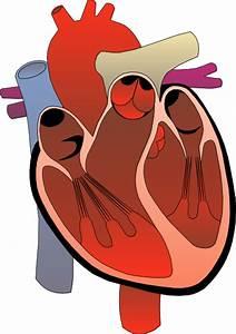 Heart Medical Diagram Clip Art  111134  Free Svg Download