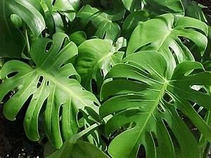 Große Zimmerpflanzen Pflegeleicht : pflegeleichte zimmerpflanzen die auch sehr frisch und ~ Lizthompson.info Haus und Dekorationen