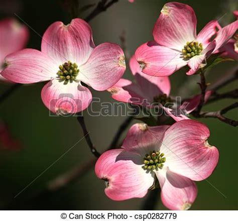 stock photographs  pink dogwood blooms closeup