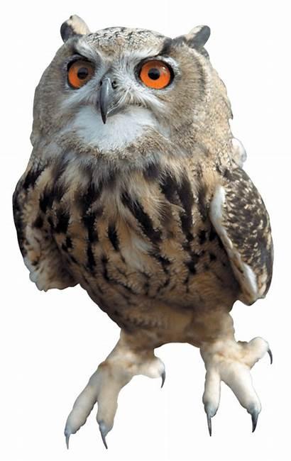 Owl Transparent Hibou Owls Tawny Clipart Barn
