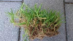 Quecke Im Rasen : was ist das in meinem rasen mein sch ner garten forum ~ Lizthompson.info Haus und Dekorationen