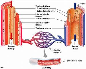 In The Circulatory System  Veins  From The Latin Vena  Are