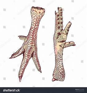Anatomy Of Chicken Leg