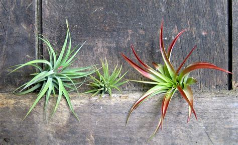 air growing plants growing and caring for your air plants