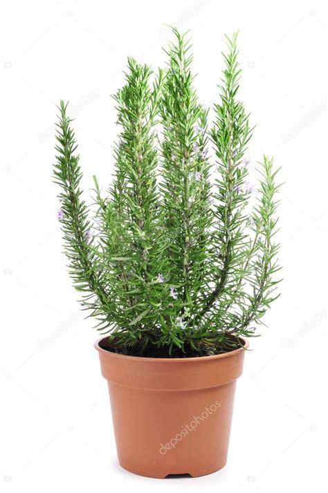 entretien romarin en pot rosmarin pflanze stockfoto 33967439