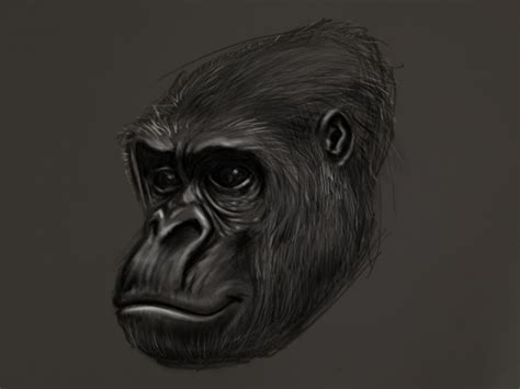 gorilla head  drawing  george coghill  dribbble