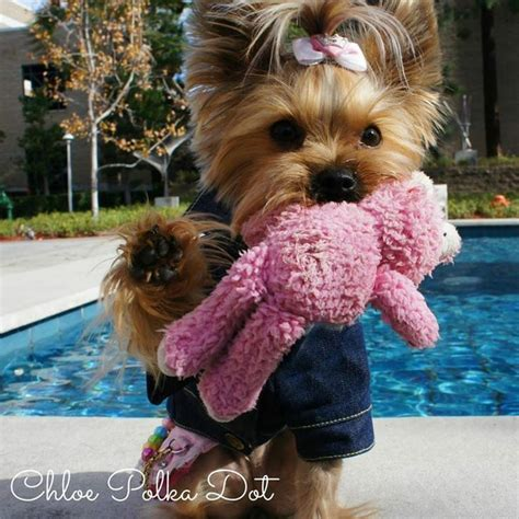 352 best images about yorkies on pinterest too cute