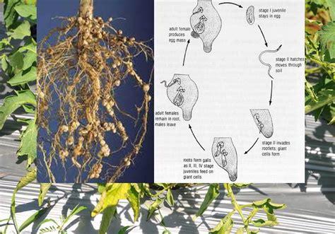 gejala serangan nematoda parasit  tumbuhan