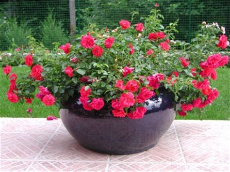 arrosage des rosiers en pot rosiers en pot comment les entretenir roses guillot