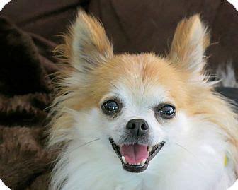 prince adopted dog high point nc chihuahua