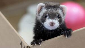 Cute ferret playing with bubble bag - YouTube