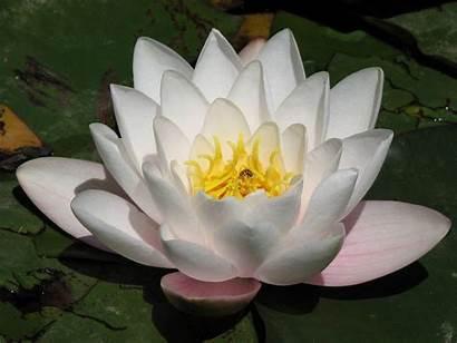 Lotus Flower Wallpapers Desktop Flowers Resolution Millenium