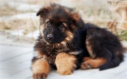 German Shepherd Dog Puppy Husky Wallpapers Desktop