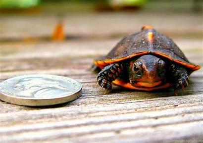 Turtle Wallpapers Nickel Deviantart Animals Pc