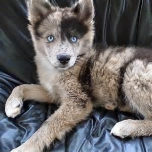 Pomeranian Australian Shepherd Husky Mix