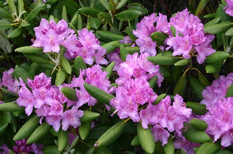 planting a rhododendron rhododendron care tips on how to grow a rhododendron bush