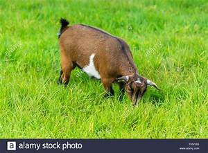 One Brown Goat Eating Of Green Grass At Farm Stock Photo