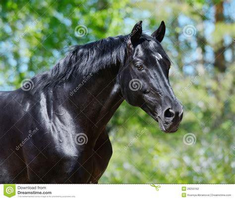 black stallion  russian riding breed stock photo image
