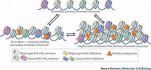 Diagram Of Chromatin : primary secondary and tertiary structure of chromatin the ~ A.2002-acura-tl-radio.info Haus und Dekorationen
