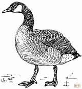 Coloring Goose Canada Printable Drawing sketch template
