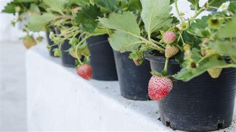 erdbeeren im topf auch ohne garten erdbeeren pflanzen