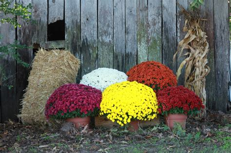 planting chrysanthemums in the fall mums and pumpkins to decorate wedding day pinterest mums and pumpkins fall mums and gazebo
