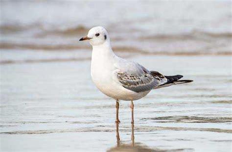 cuisine des terroirs arte faune la mouette rieuse un bel oiseau blanc aux formes élancées normandie heritage com