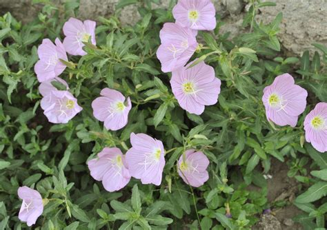 evening primrose plant how to grow evening primrose 10 steps with pictures wikihow