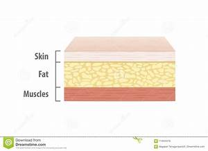 Layers Of Skin Illustration Vector On White Background