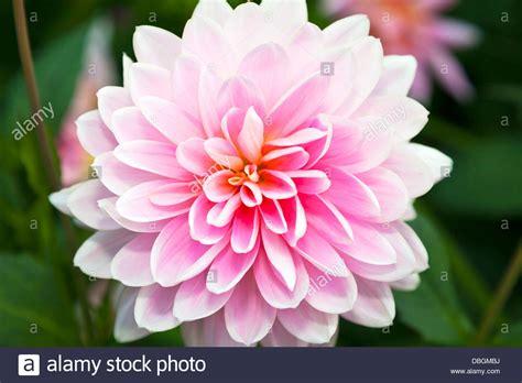 Typical English Garden Plants Flowers Pink Chrysanthemum