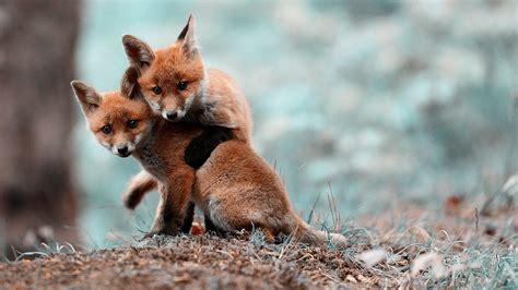 Animal Desk Memo Board desktop hd animals fox images