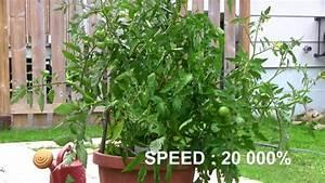 Arrosage Des Tomates : plan de tomate avant et apr s arrosage youtube ~ Carolinahurricanesstore.com Idées de Décoration