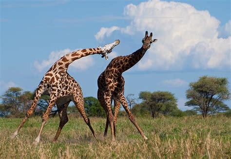 Giraffe fight (1) | Flickr - Photo Sharing!
