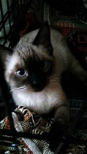 Comet the Chocolate Point Siamese Mix's Web Page