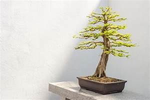 Zypresse Wird Braun : scheinzypresse als bonsai ziehen und pflegen ~ Orissabook.com Haus und Dekorationen