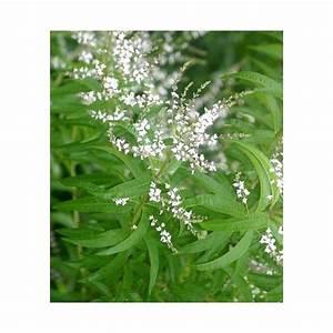 Verveine Plante Tisane : verveine citronelle aloysia citriodora plante aromatique ~ Mglfilm.com Idées de Décoration