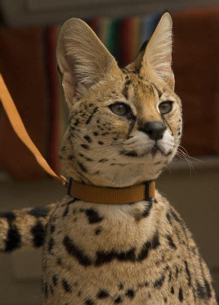 1 Of 3 Escaped Serval Cats On Loose In Los Al Area