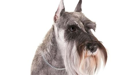 1000 images about miniature schnauzer on pinterest to