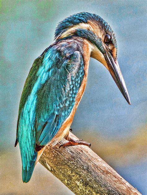 kingfisher greeting card  muna  muna  cards