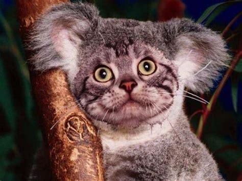 por  los koalas nunca llegaran  ser los nuevos gatitos