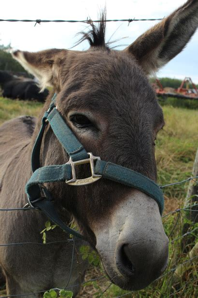 donkey jackass  stock photo public domain pictures
